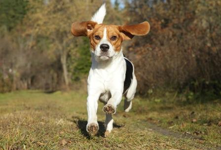 beagle-23